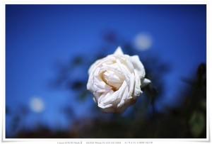 薔薇 ピント確認