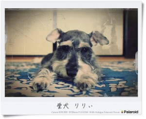 愛犬りりぃ Antique Polaroid Flavor.